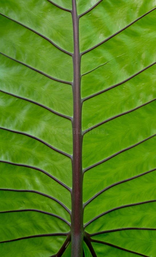 Leaf texture. green caladium stock image