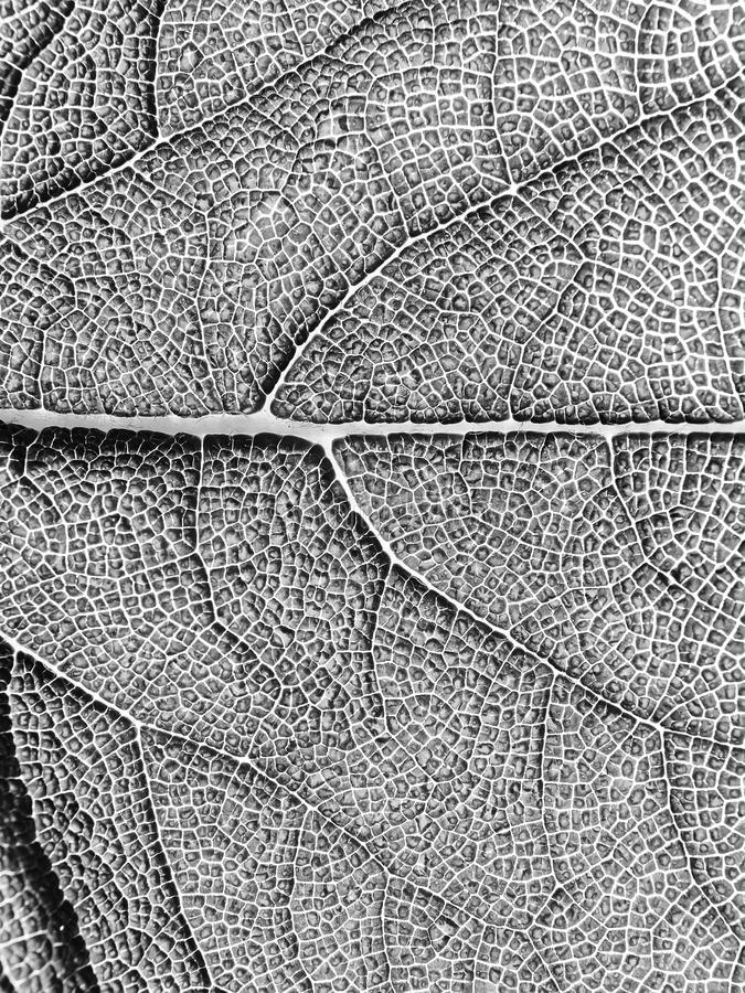 Leaf texture, macro. royalty free stock images