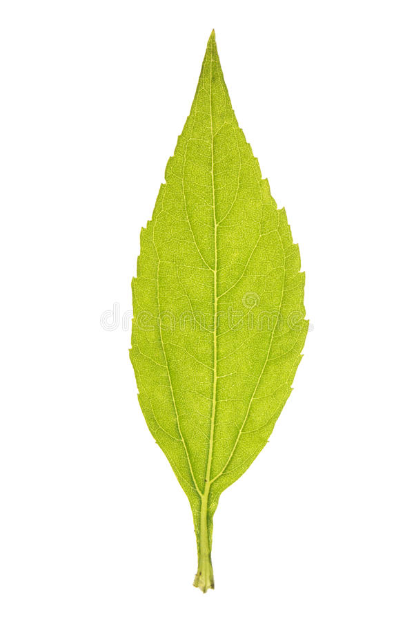 Leaf of topinambour isolated on white. Green leaf of topinambour isolated on white stock image