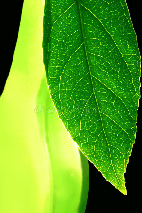 Leaf Transparency royalty free stock images