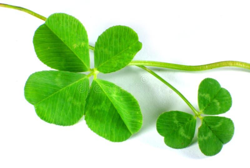 leaf tre för växt av släkten Trifolium fyra royaltyfria bilder