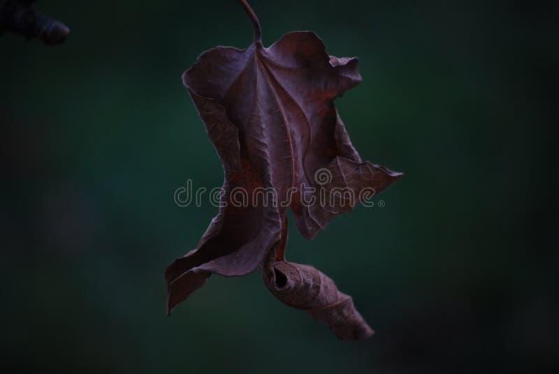 Fig tree leaf stock image