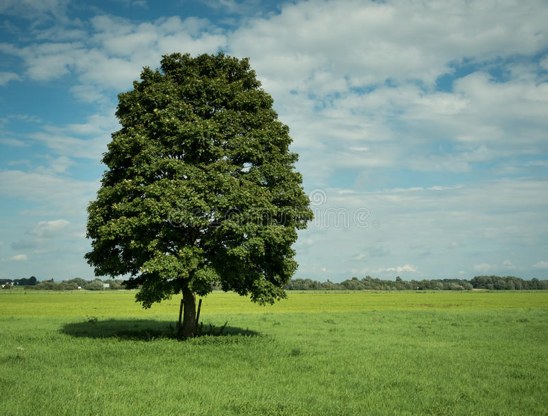Leaf tree on a green field. On a sunny day stock images