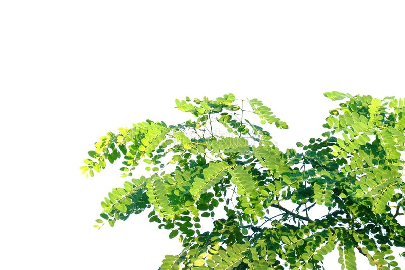 Tropical tree leaves with branches on white isolated background for green foliage backdrop. Leaf tropical tree leaves branches white isolated background green royalty free stock photo