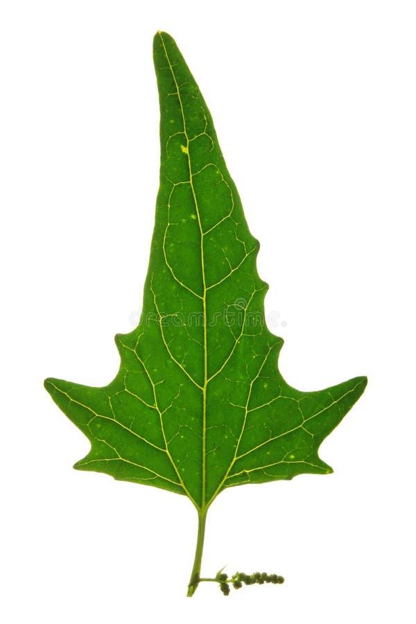 Leaf of Twoscale saltbush (Atriplex micrantha) iso stock photos