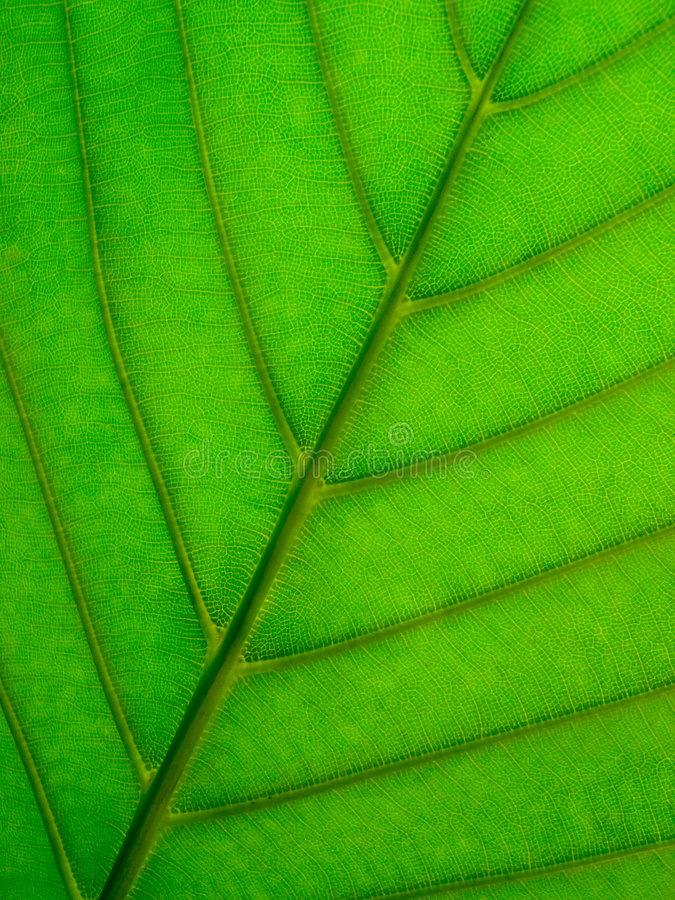 Free Leaf Underside Royalty Free Stock Images - 5602239