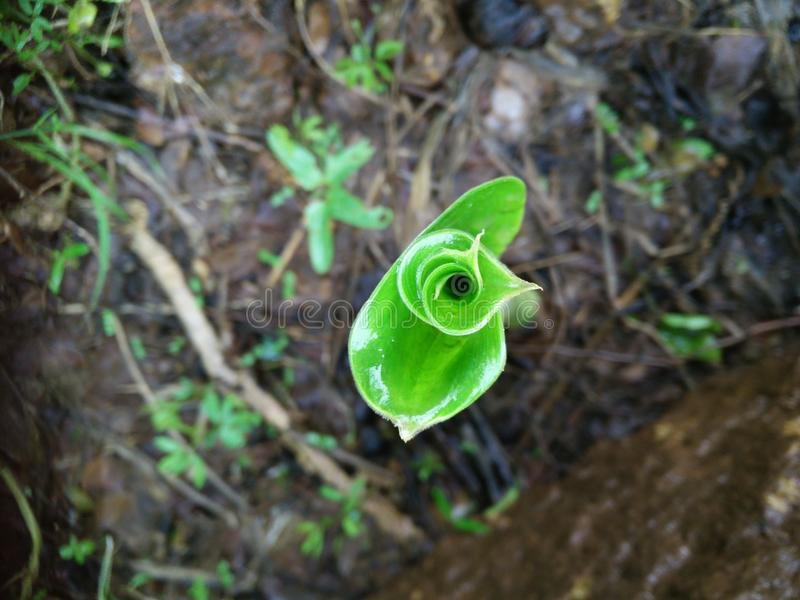 Leaf unfolding. The onset of monsoon brings a relief to the barren dry land, life springs up from the depth of the earth, unfolding joy in every bit stock image