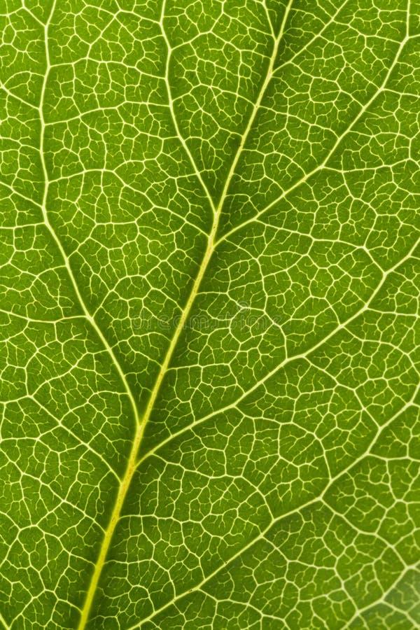 Download Leaf Vein stock image. Image of frame, background, close - 13167097