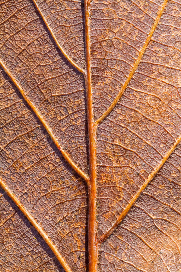 Download Leaf vein stock image. Image of textured, vein, beautiful - 29520577