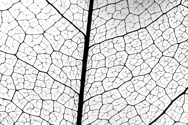 Leaf vein stock photo