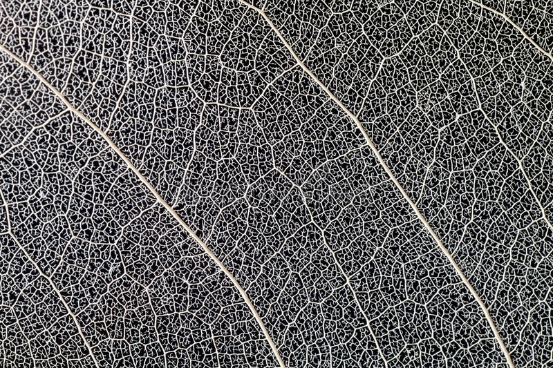leaf vein royalty free stock images