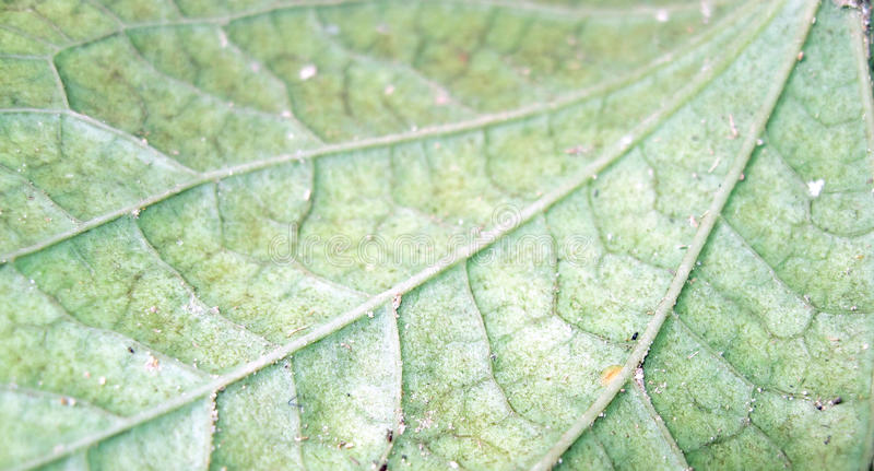 Leaf Veins royalty free stock photos