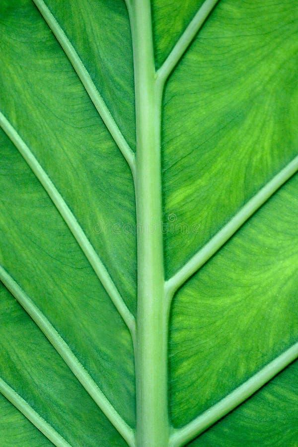 Download Leaf Veins stock image. Image of biology, greenery, biological - 29608165