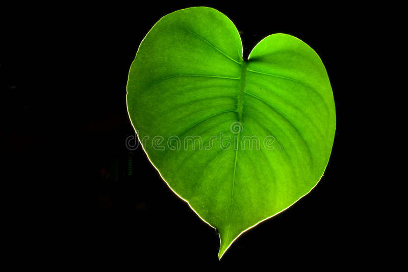 Leaf veins stock photography