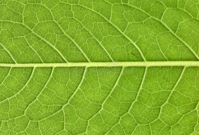 Download Leaf veins close up stock photo. Image of folio, flora - 25851828