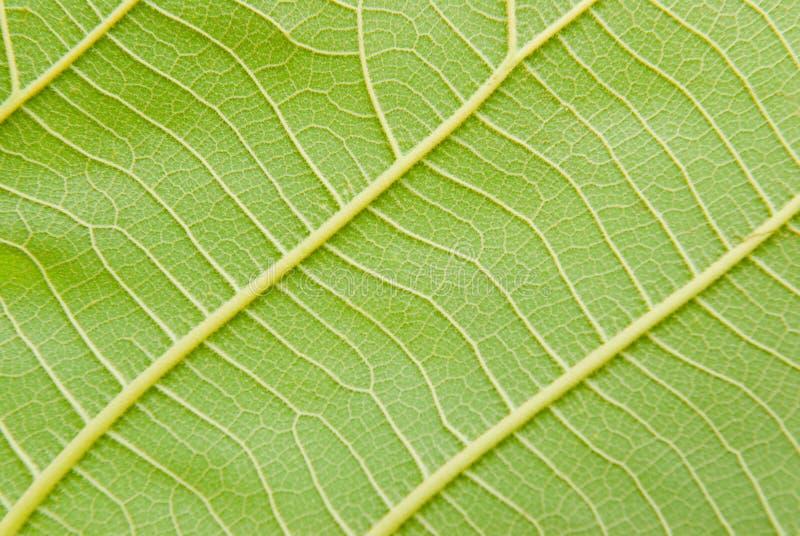 Download Leaf Veins Stock Photo - Image: 40500995