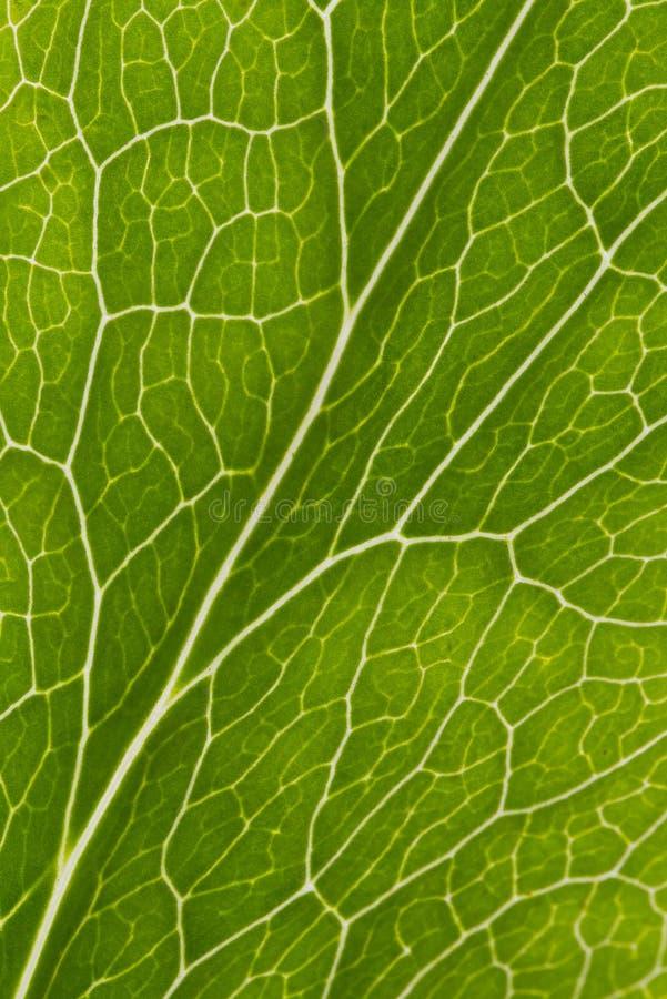 Leaf veins macro