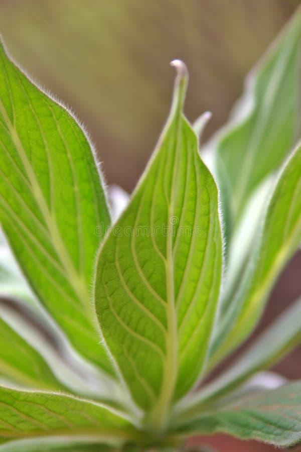 Download Leaf Viens stock image. Image of jardine, ross, plant, leaf - 839831