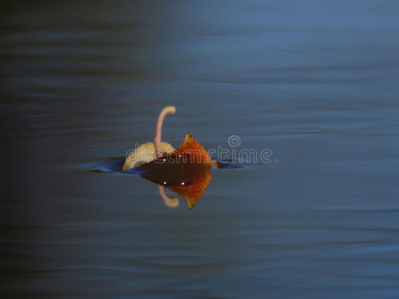 Leaf on the water floats stock photos