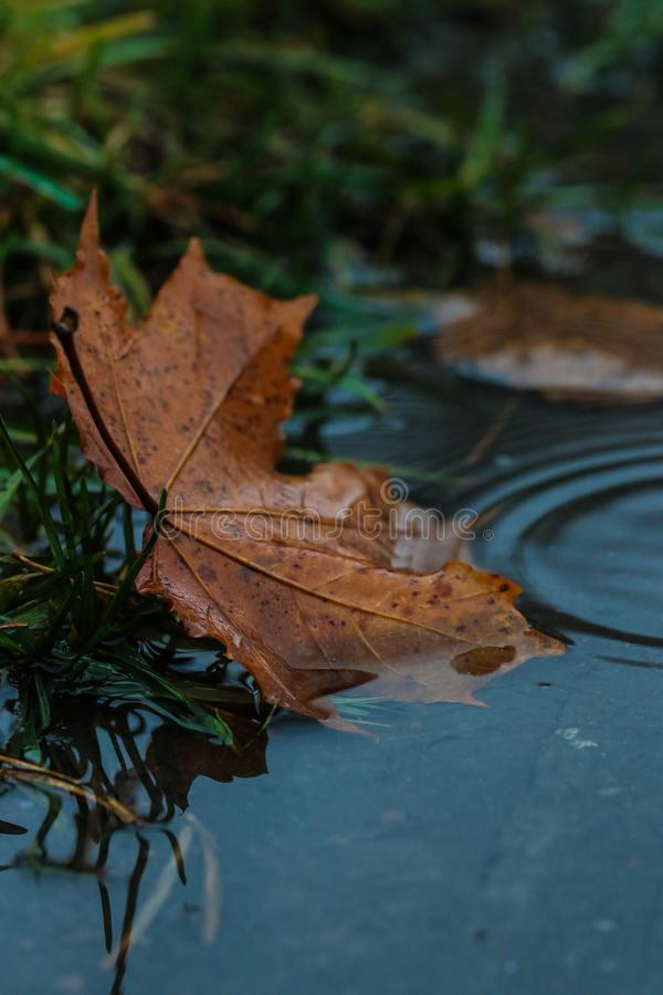 Leaf, Water, Maple Leaf, Autumn royalty free stock image