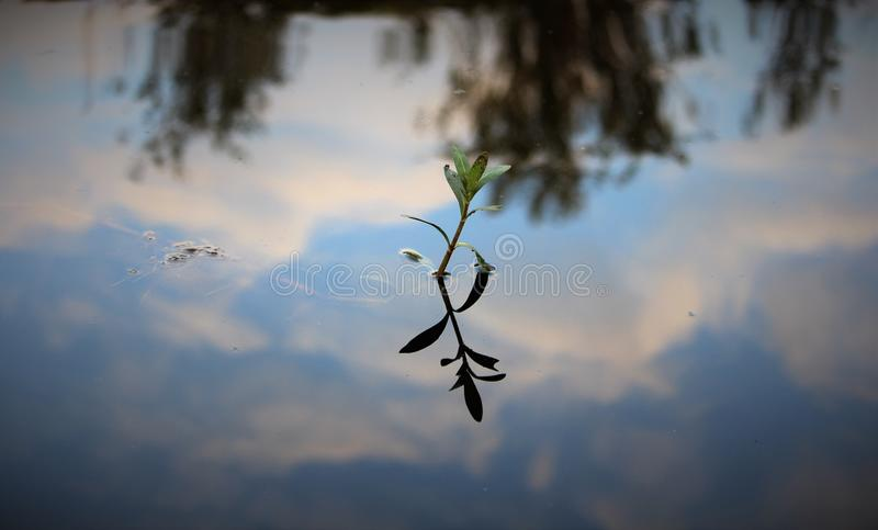 Leaf in water reflections. Plant grown in water captured with sky reflections,it feels like calm and peaceful stock image