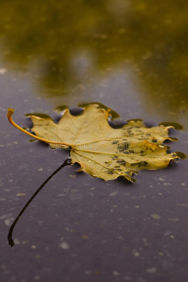 Leaf, Water, Yellow, Close Up royalty free stock photo