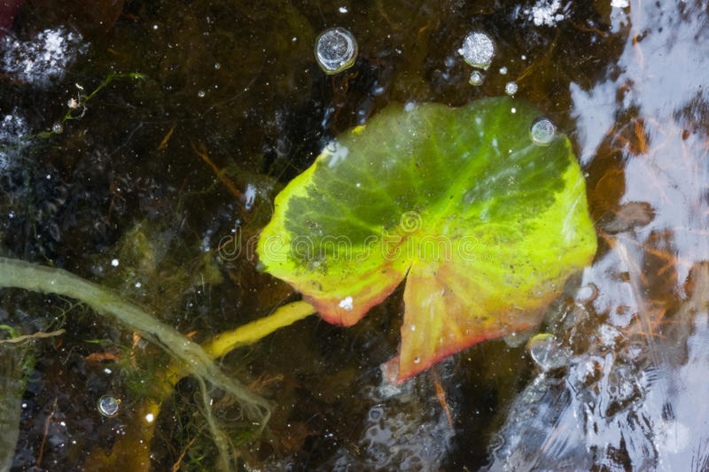 Leaf of Waterlily under ice.