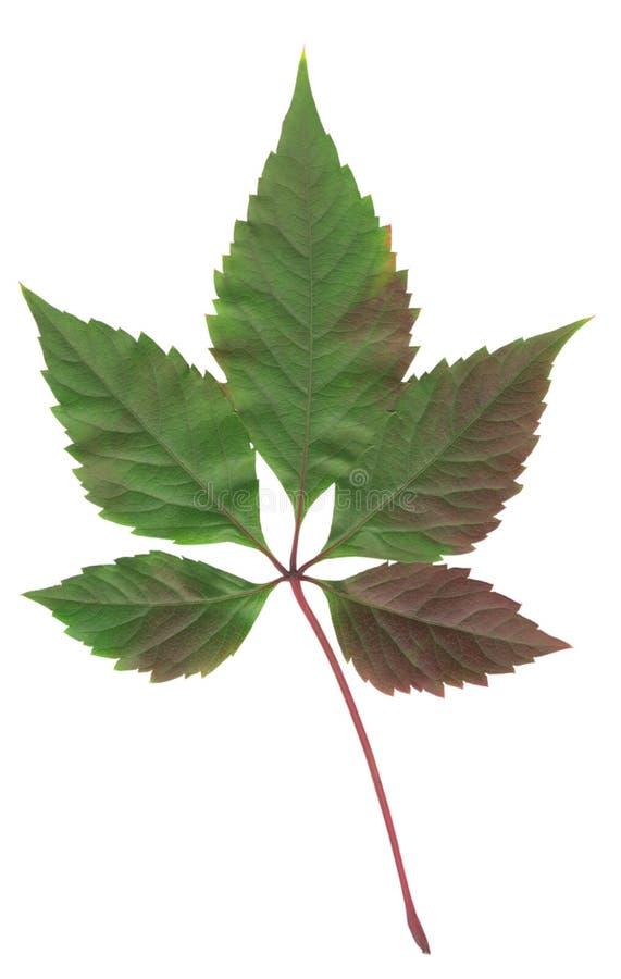 Leaf of wild grape royalty free stock photo