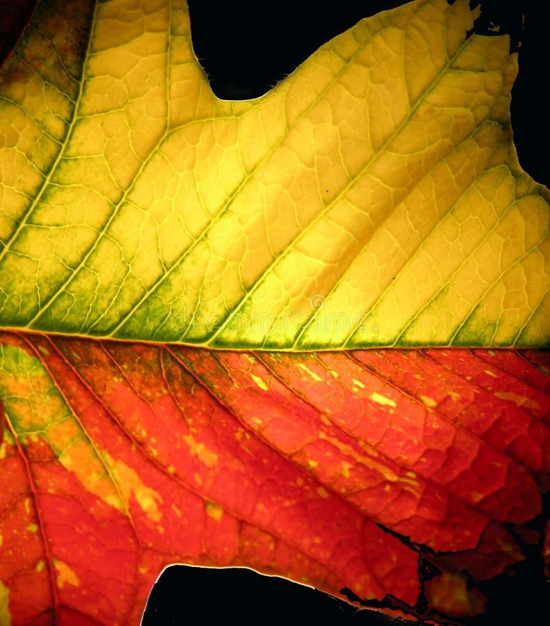 Leaf1 imagem de stock royalty free