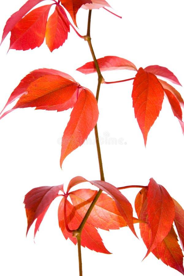 Leafage de raisin sauvage photos stock