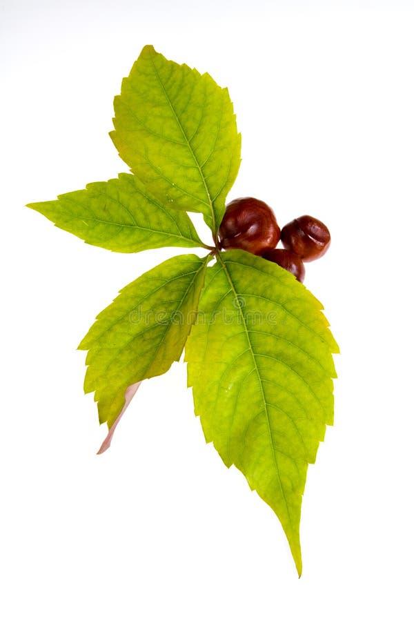 Leafage de raisin sauvage images libres de droits