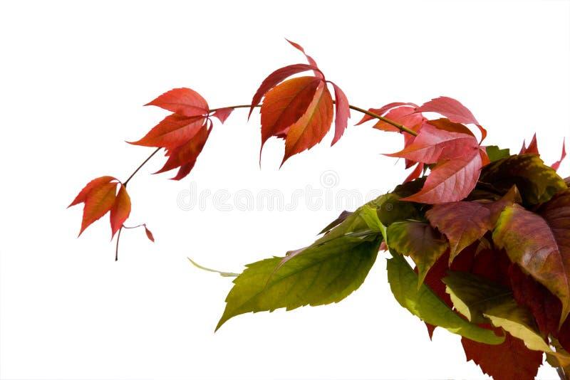 Leafage Of Wild Grape Stock Photo