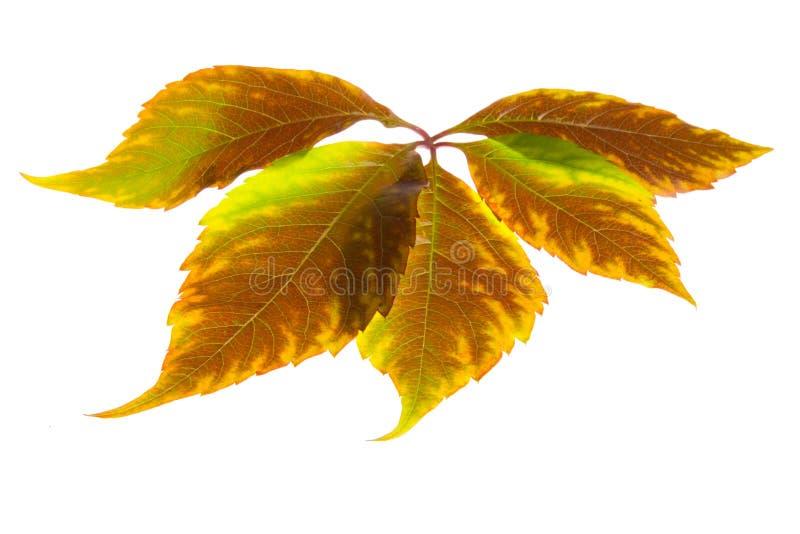 Leafage Of Wild Grape Royalty Free Stock Photos