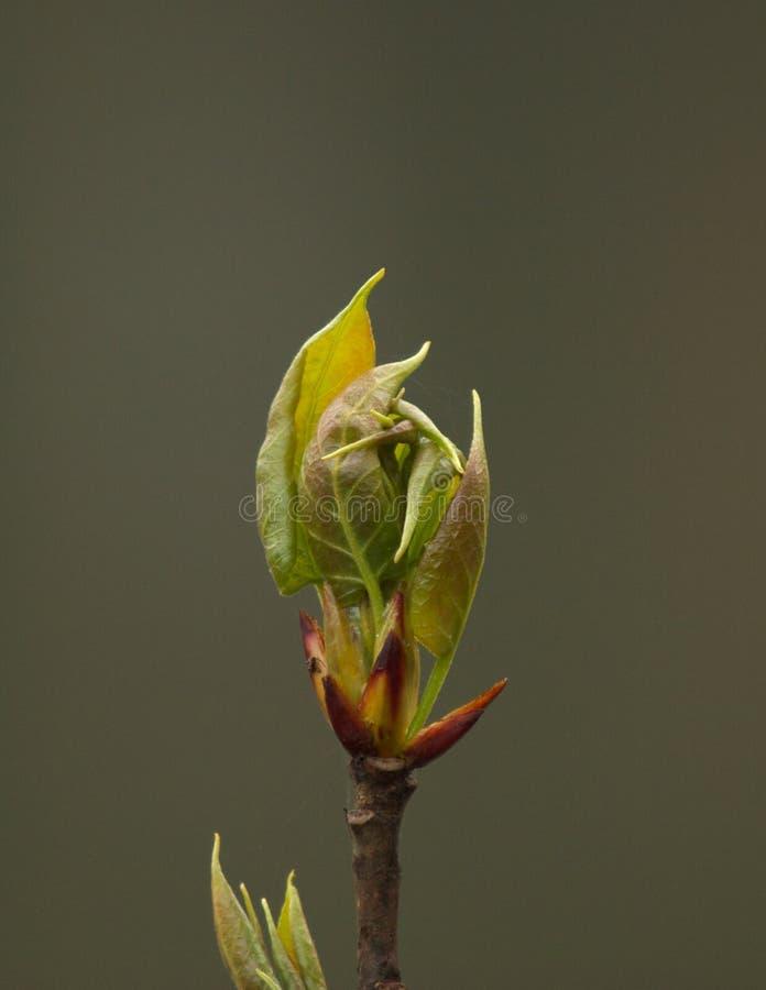 Leafbud Stock Photography
