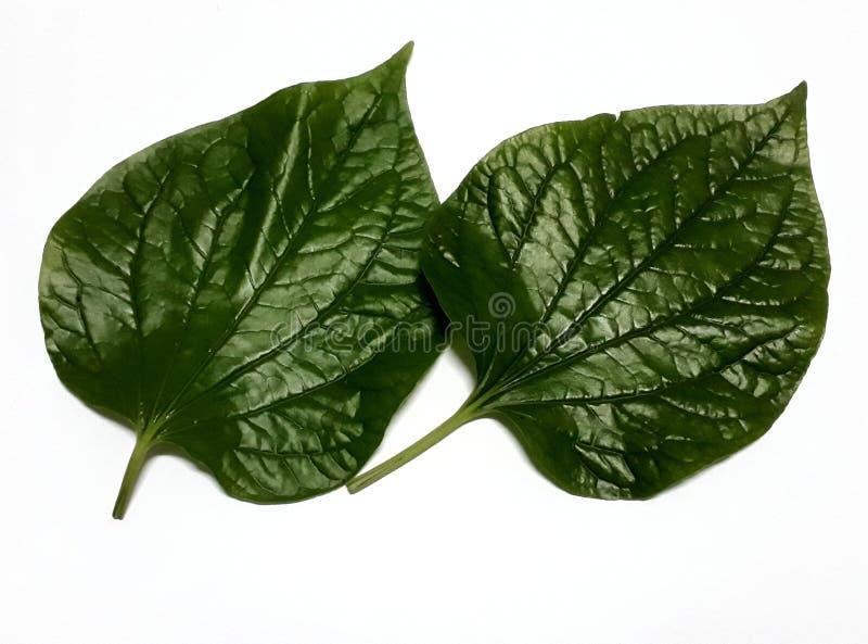Leafbush de Wildbetal ou roxb de sarmentosum de joueur de pipeau photos libres de droits