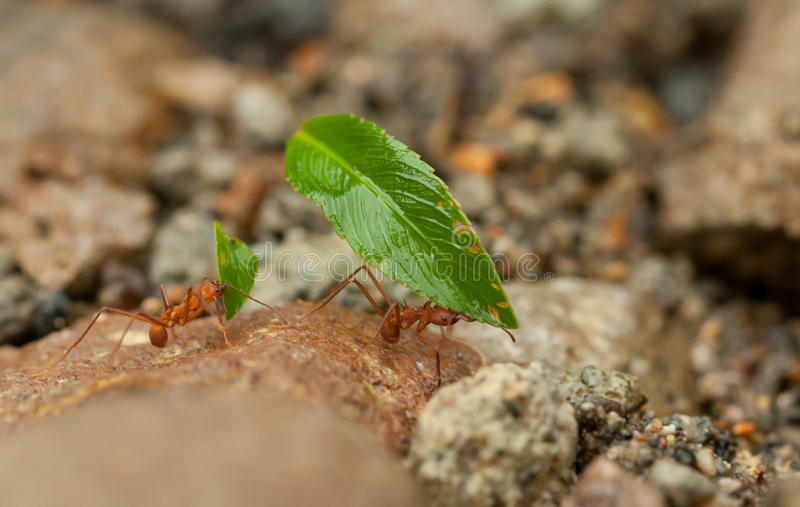 Leafcutter蚂蚁工作 图库摄影