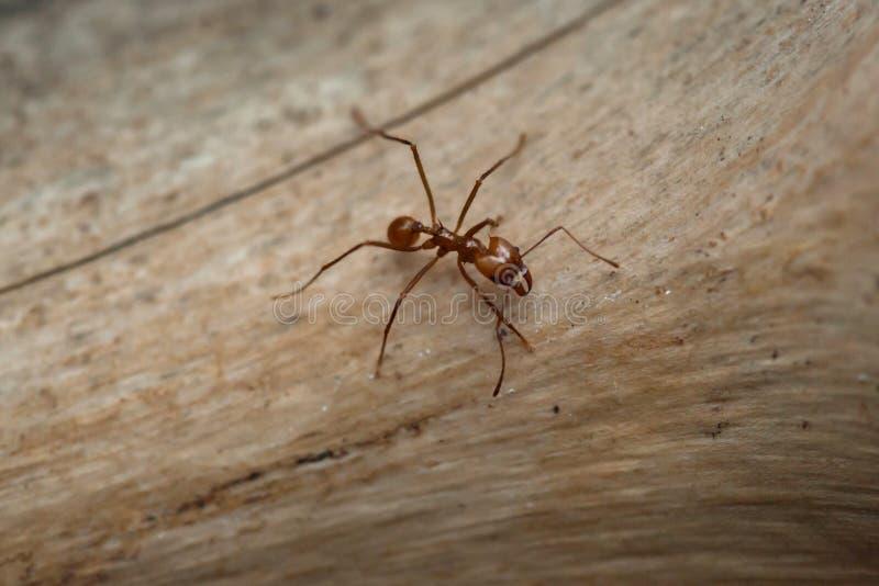 Leafcutter蚂蚁& x28; Atta sexdens& x29; 库存照片