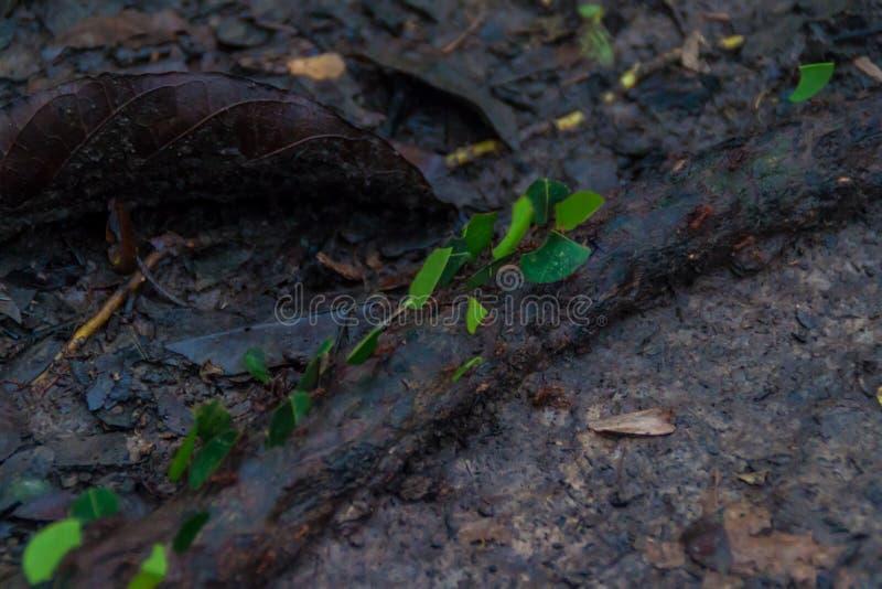 Leafcutter-Ameisen stockbilder