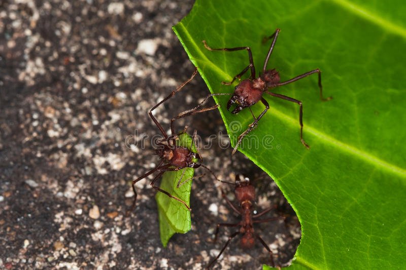 Leafcutter ants cutting leaf in rainforest. royalty free stock images