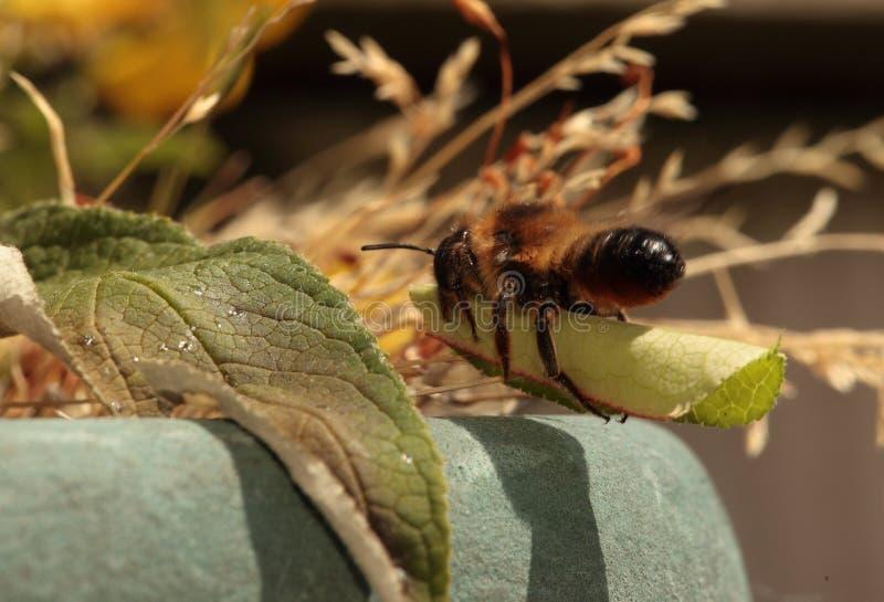 Leafcutter bi. arkivbild
