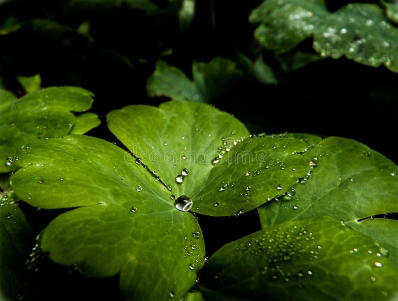 Leafe verde com gotas da água fotos de stock royalty free