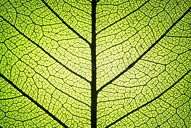leafen ribs åder arkivfoton