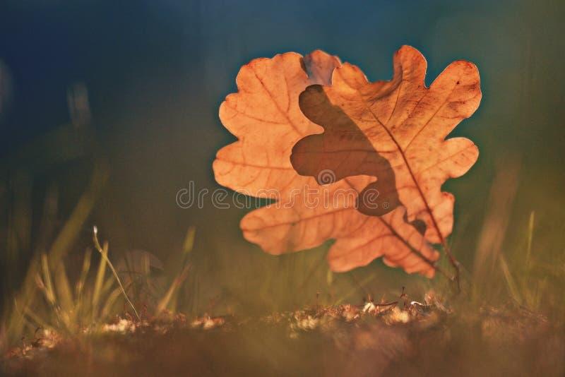 Leafes дуба на лесе осени стоковые фотографии rf