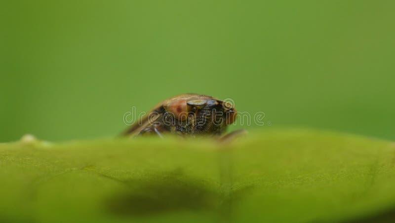 Leafhoper zdjęcia stock