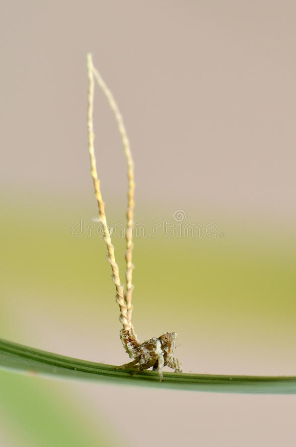 Leafhopper Nymphs Stock Image