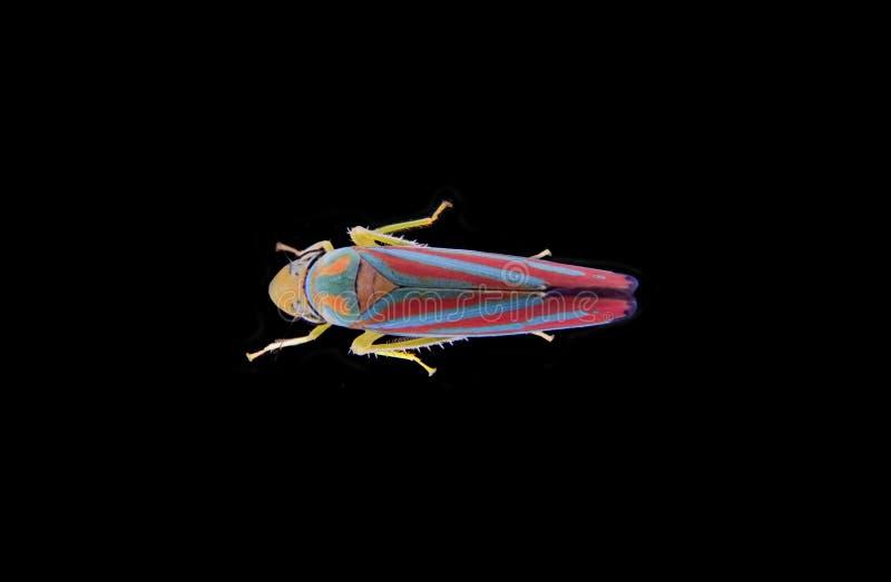 leafhopper skrzyknąca czerwień zdjęcia stock