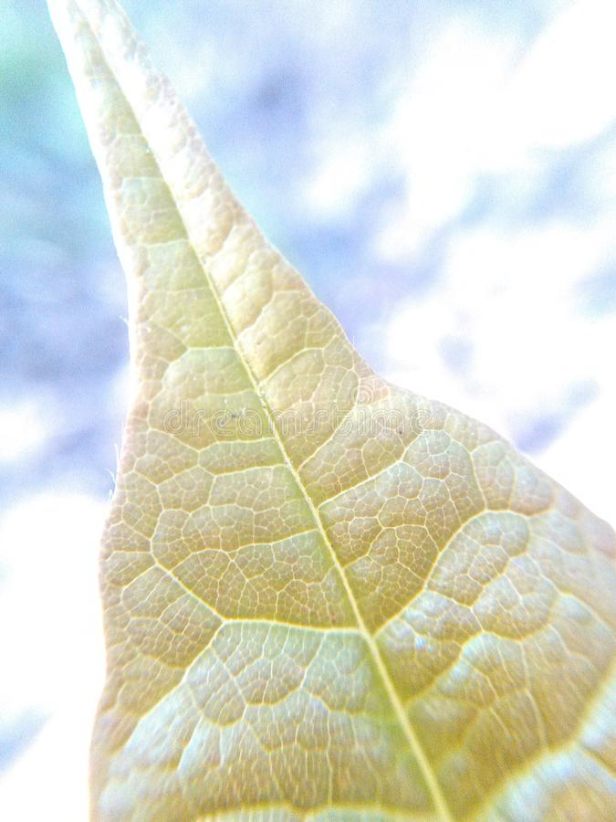 Leafing out 2 royalty free stock photo