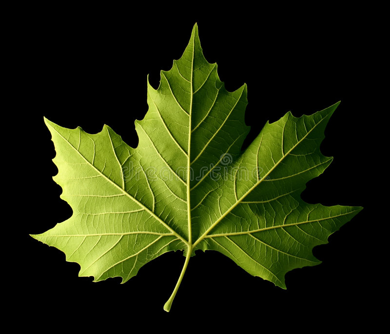 leaflönn royaltyfria foton