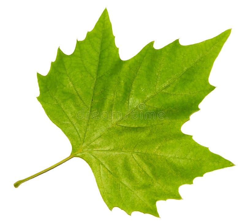 leaflönn royaltyfri foto