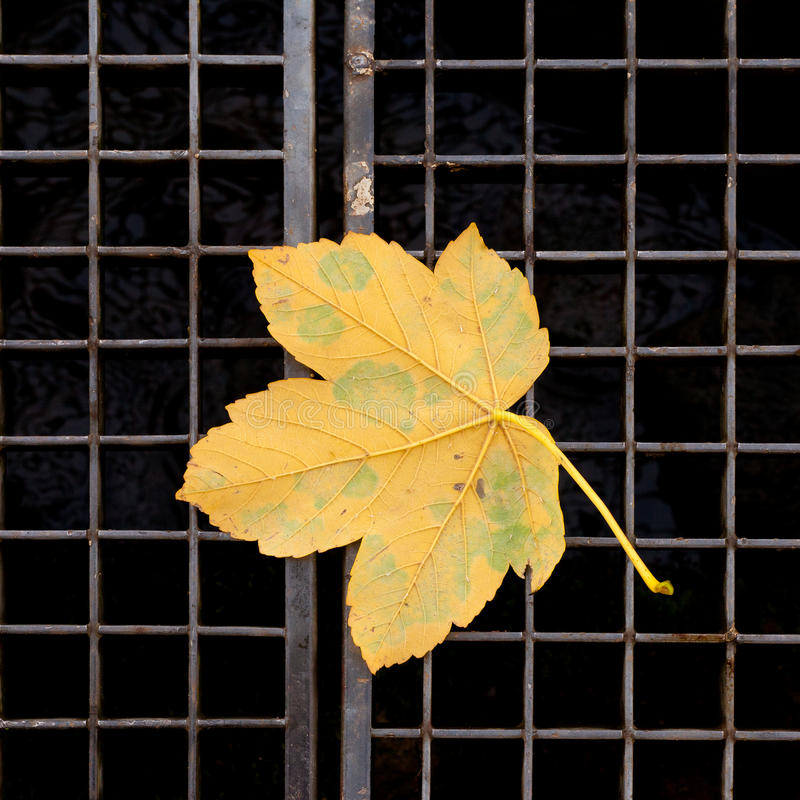 leaflönnyellow royaltyfri bild